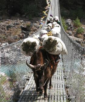 Yaks have right of way on the bridges!